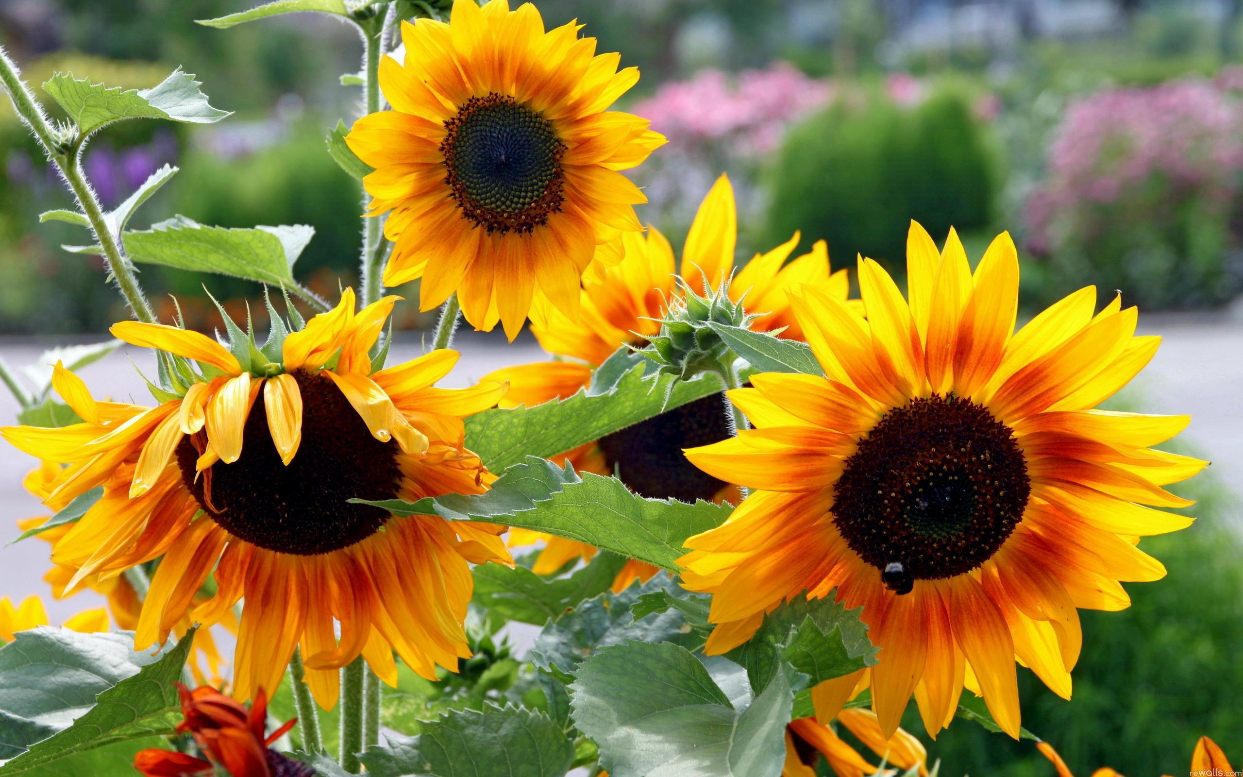 природа цветы подсолнечник  № 2671816 загрузить