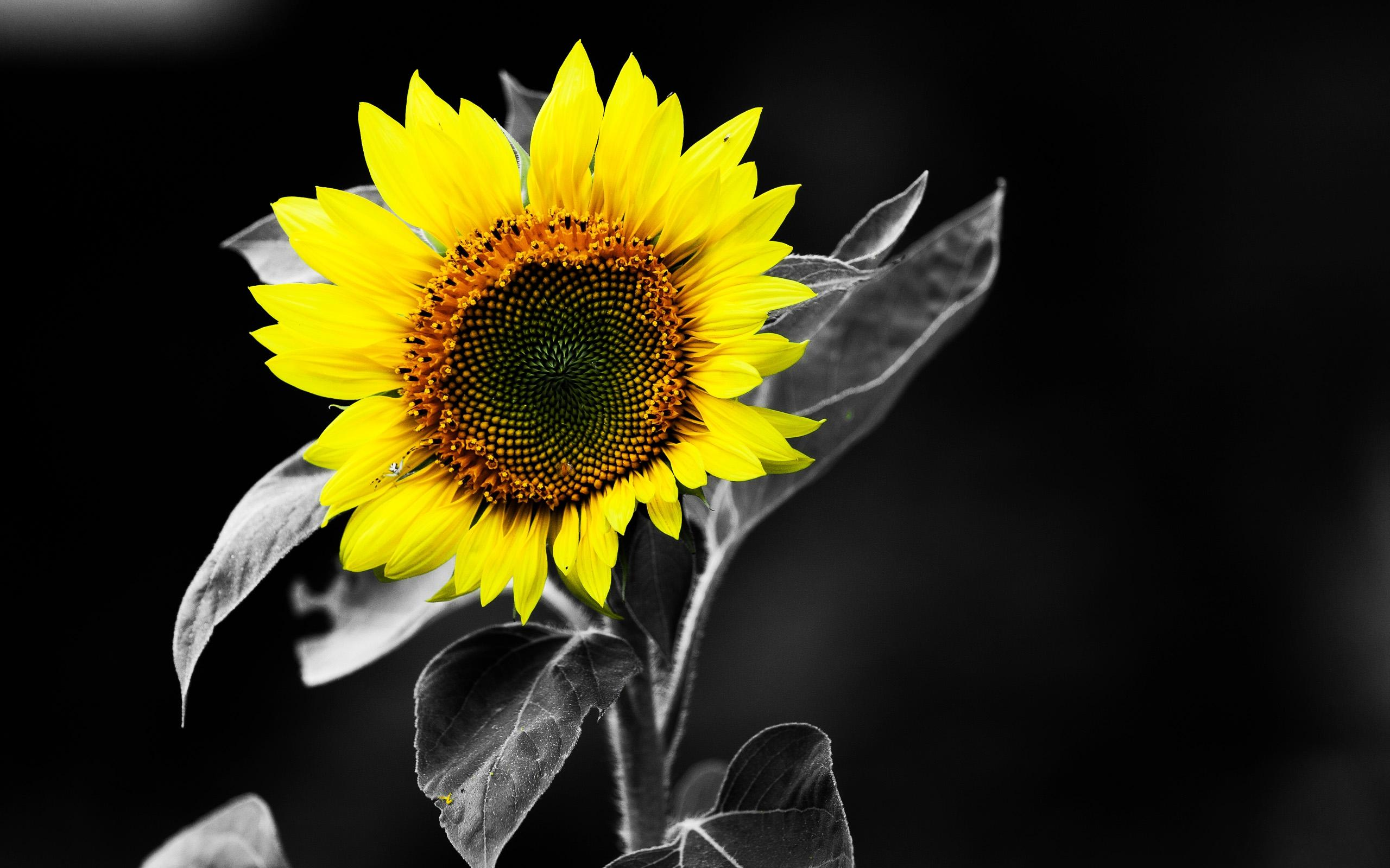 Sunflower free wallpapers