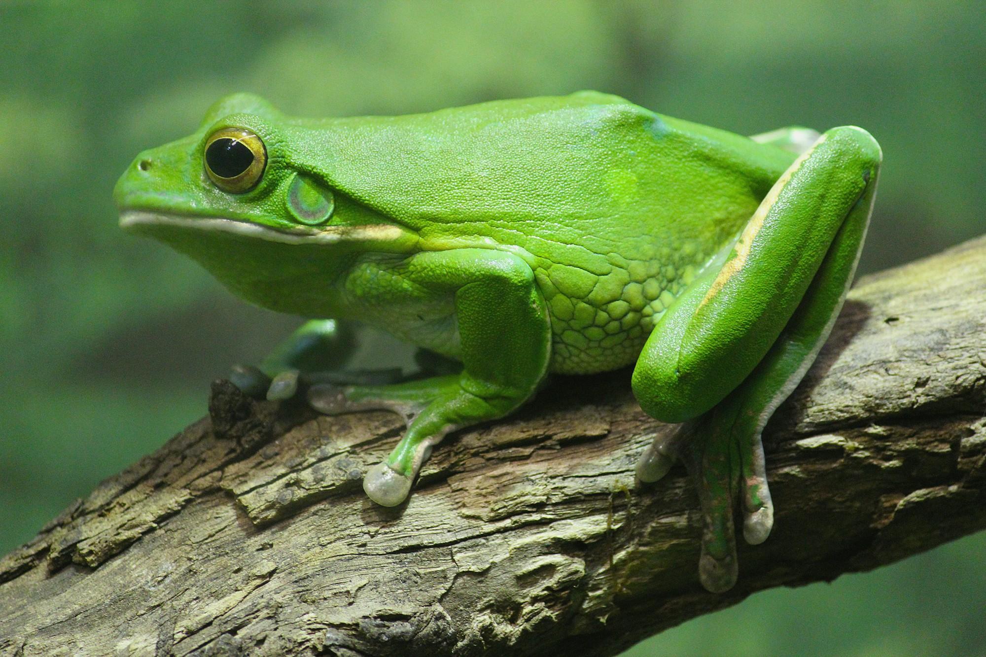 Frog Wallpaper HD Download