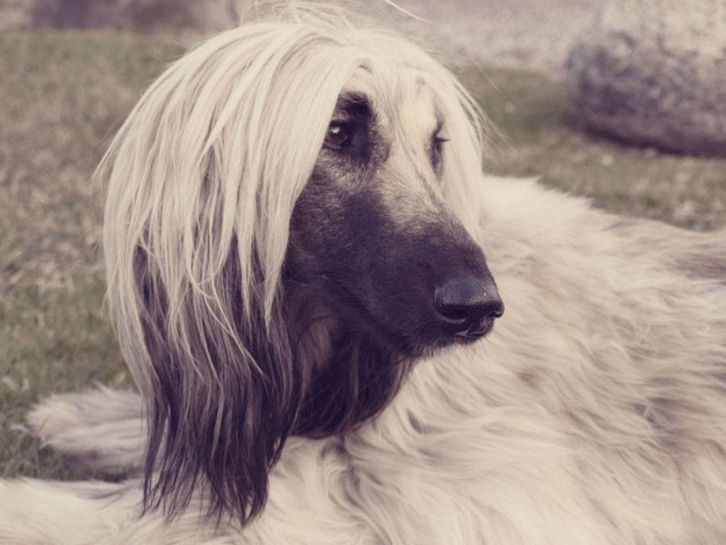 Afghan Hound wallpapers HD quality