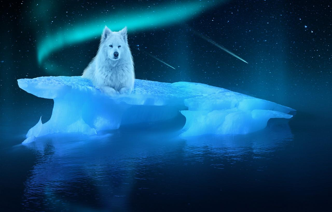 Arctic Wolf wallpapers HD quality