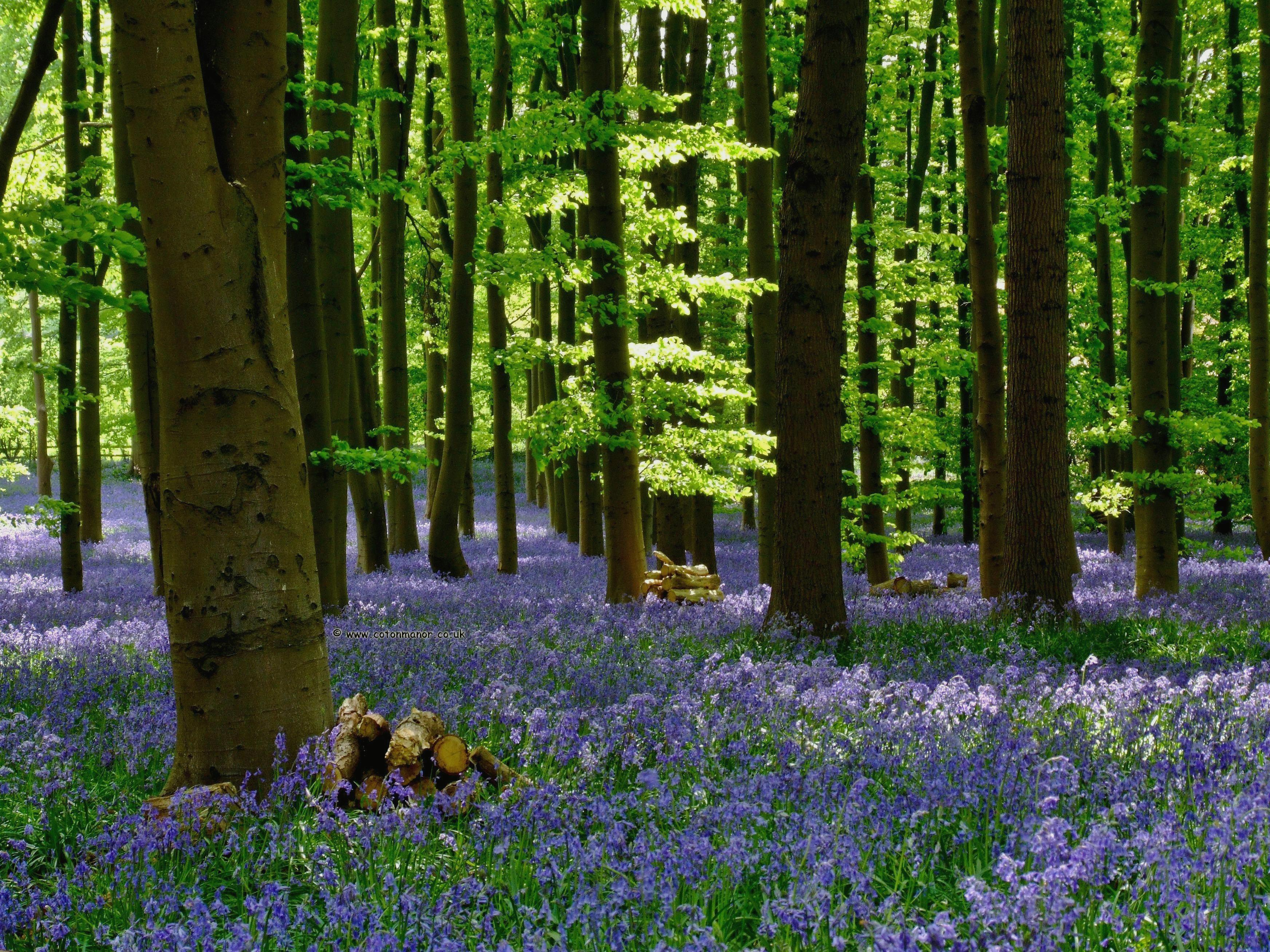 Bluebell wallpapers HD quality