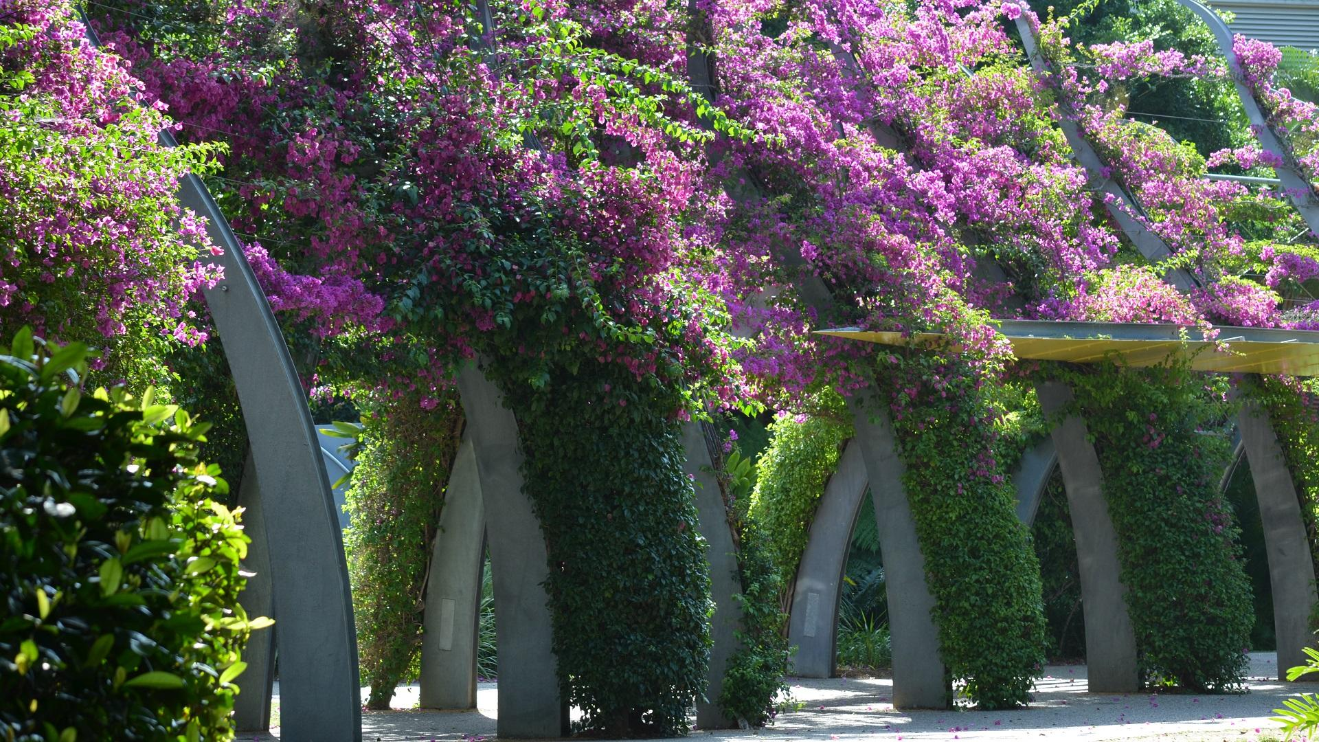 Bougainvillea wallpapers HD quality