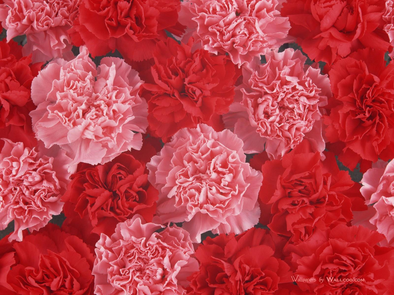 Carnation wallpapers HD quality