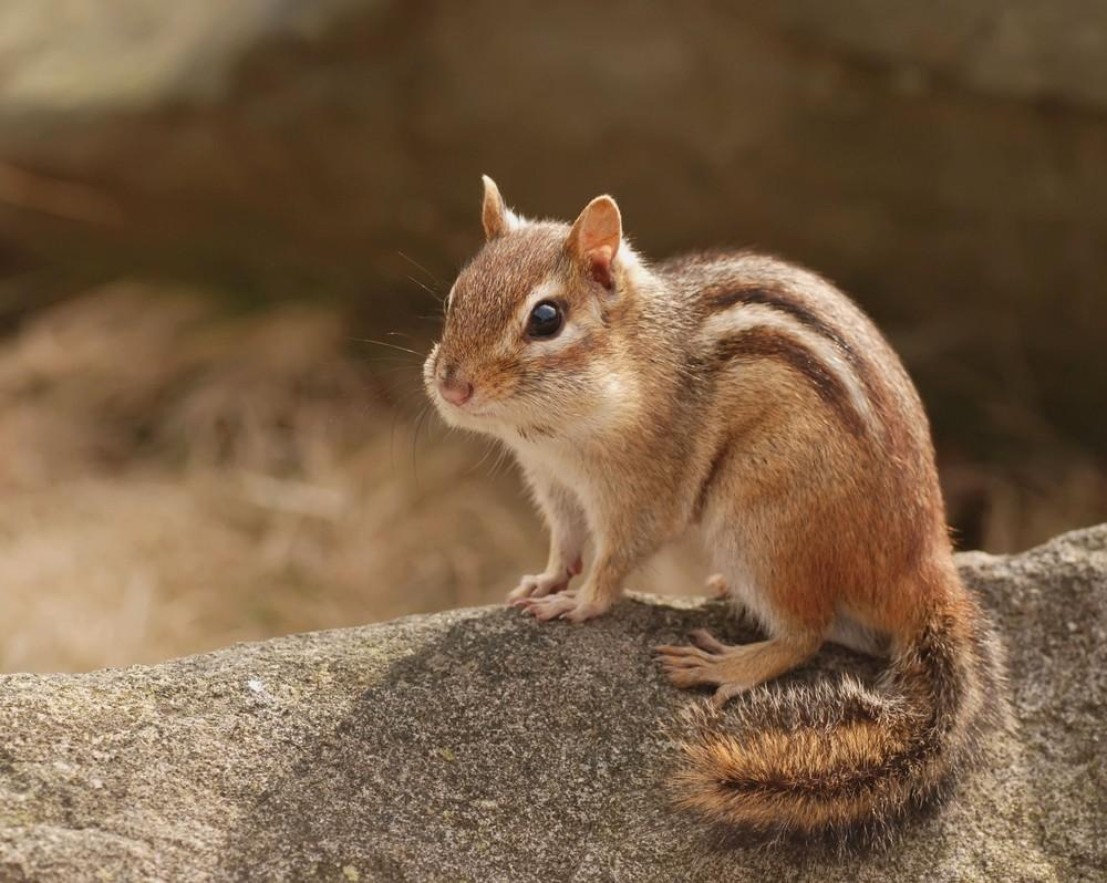 Chipmunk wallpapers HD quality