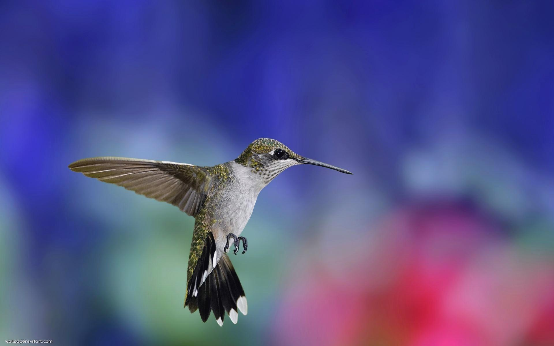 Colibri wallpapers HD quality