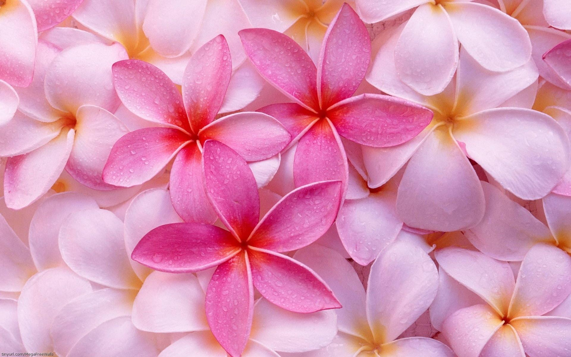 Frangipani wallpapers HD quality