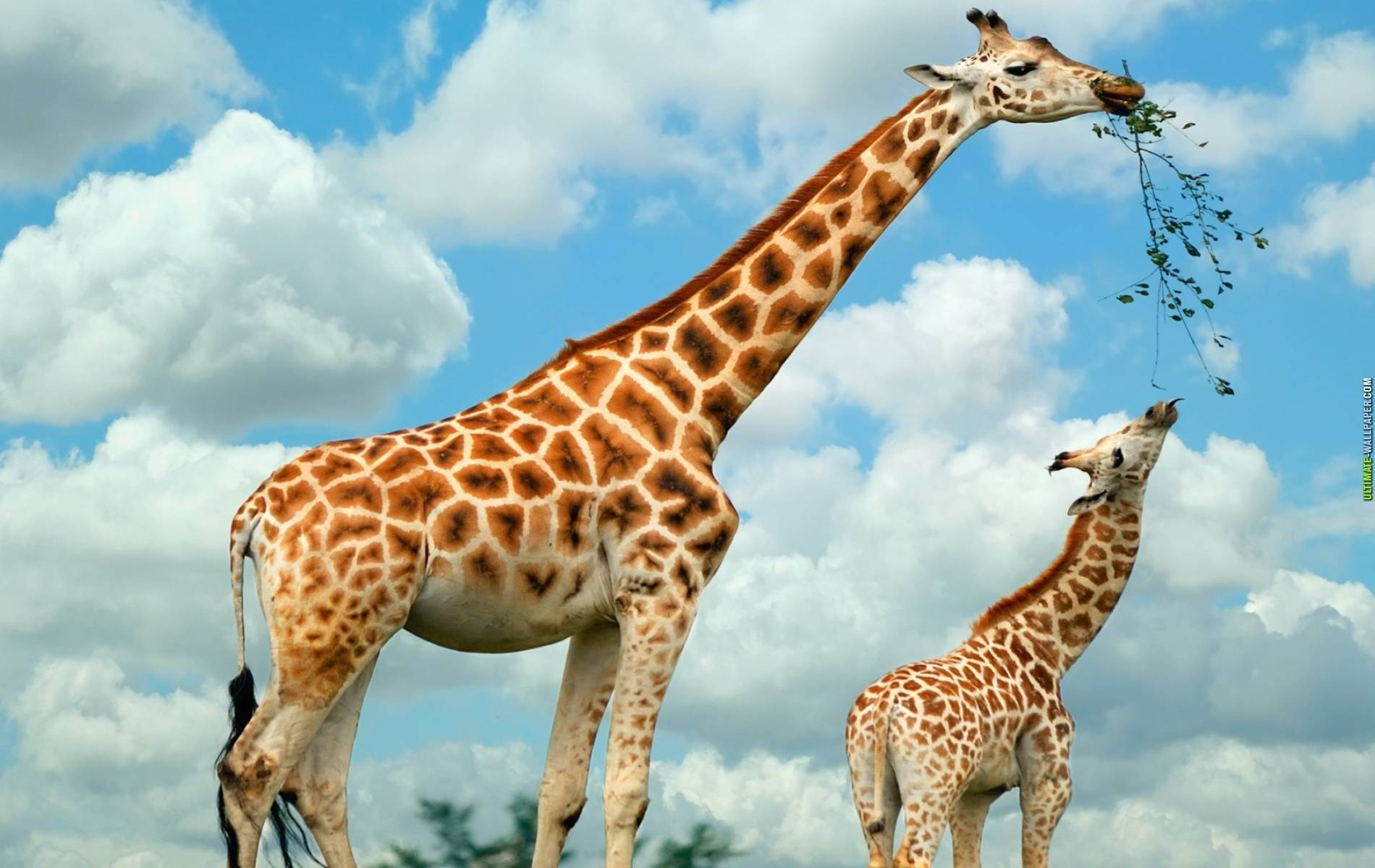 Giraffe wallpapers HD quality