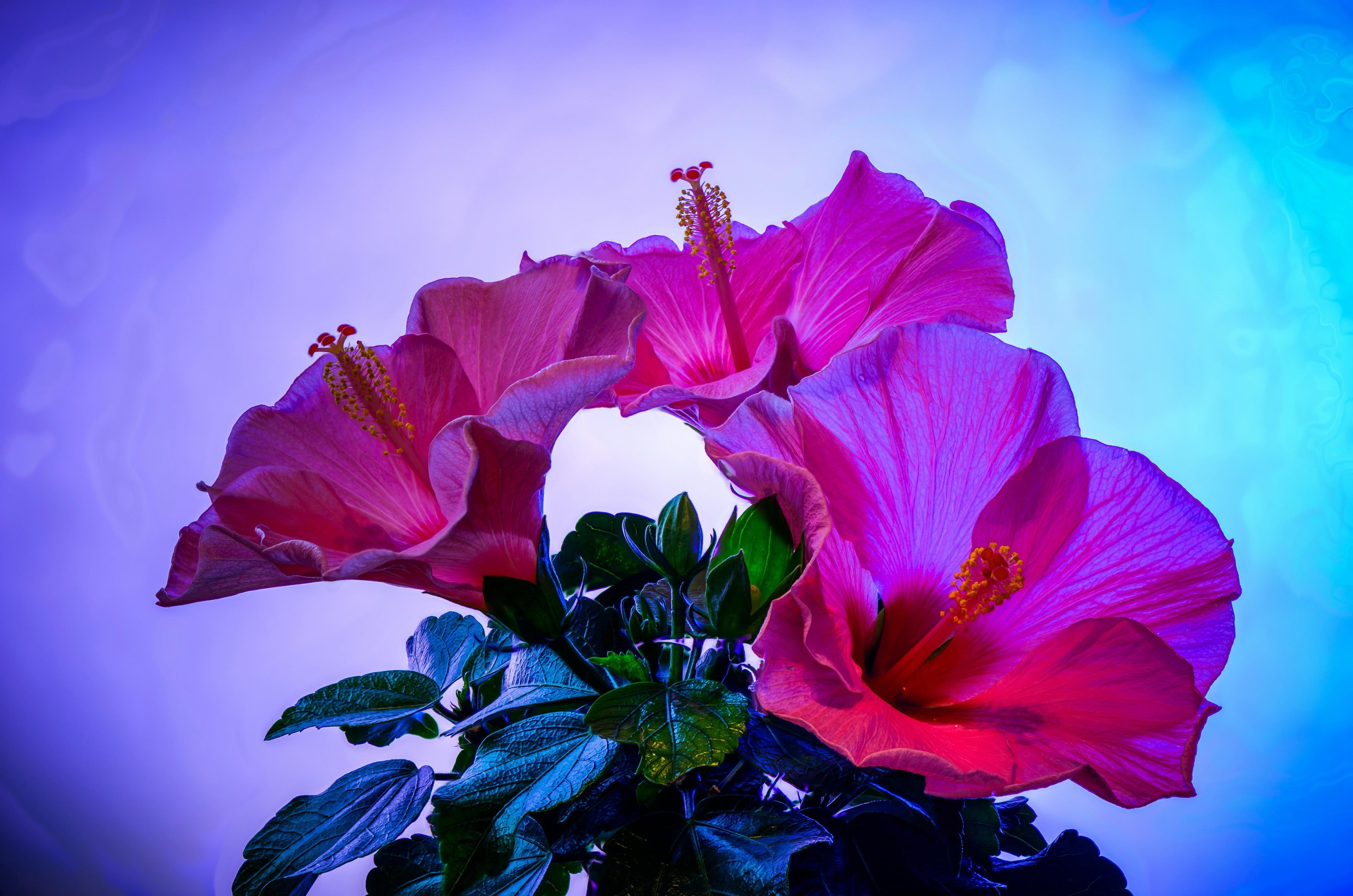 Hibiscus wallpapers HD quality