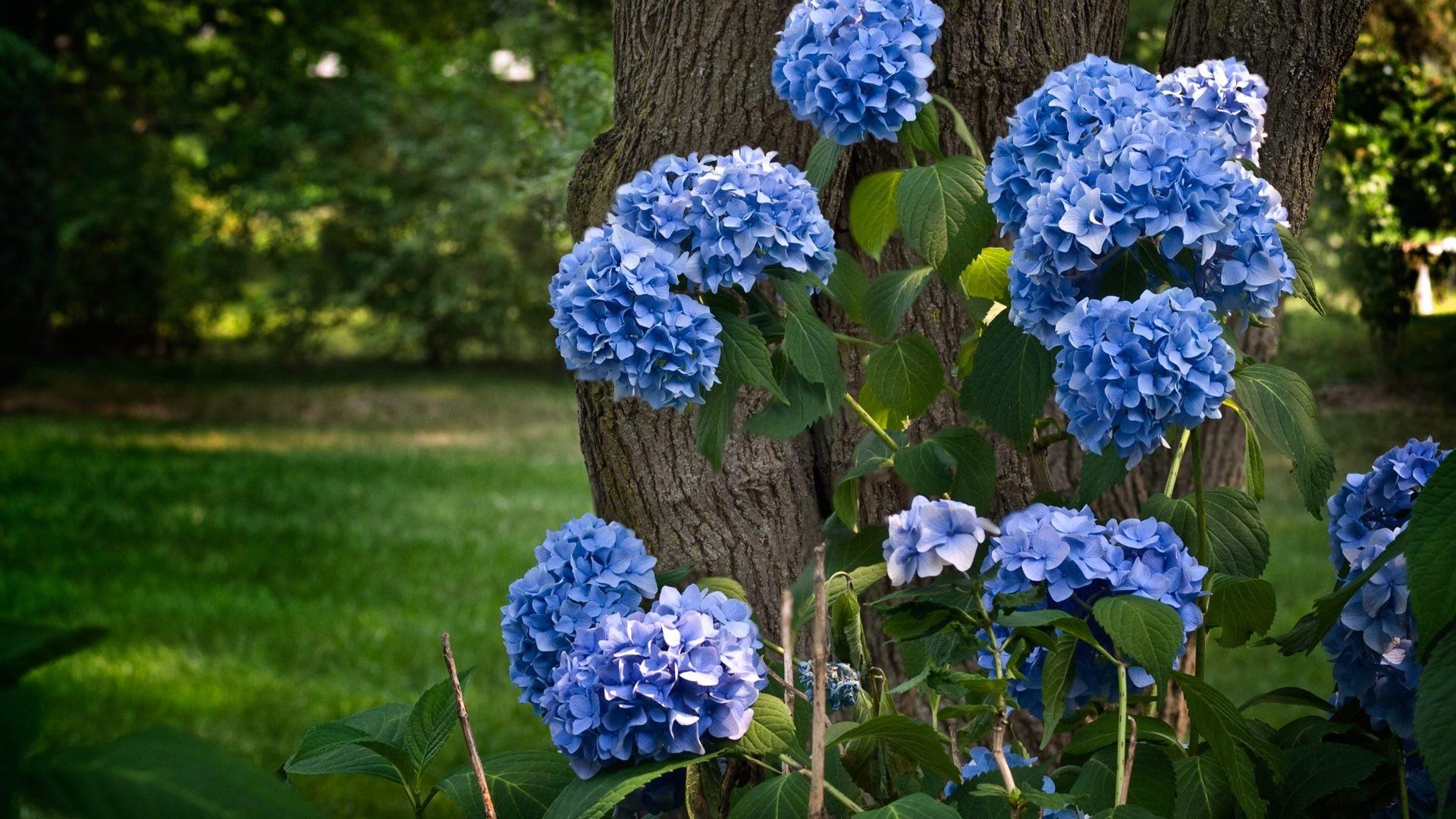 Hydrangea wallpapers HD quality