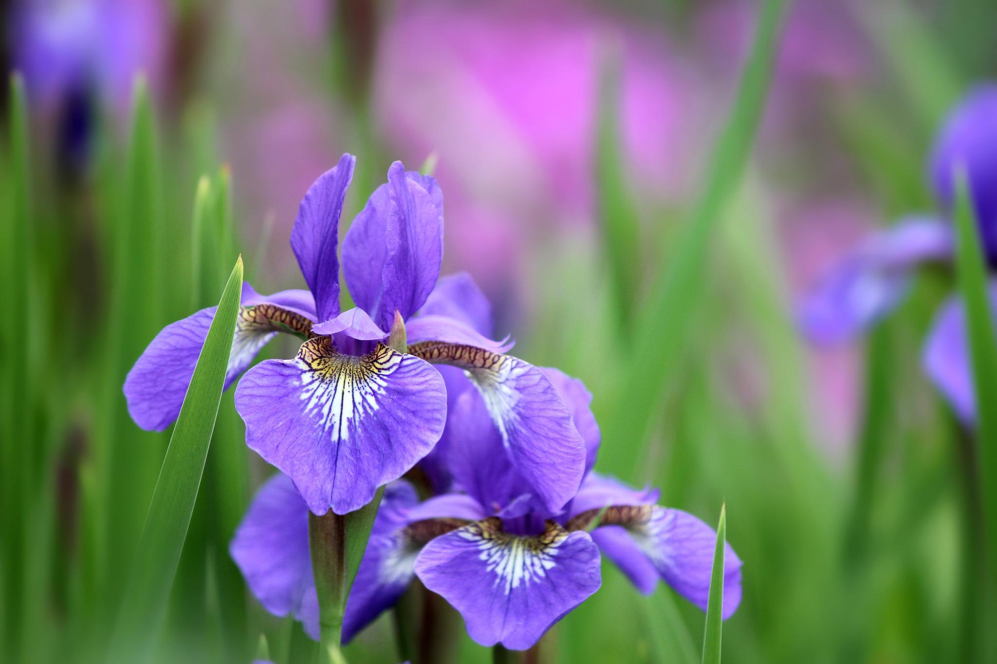 Iris wallpapers HD quality
