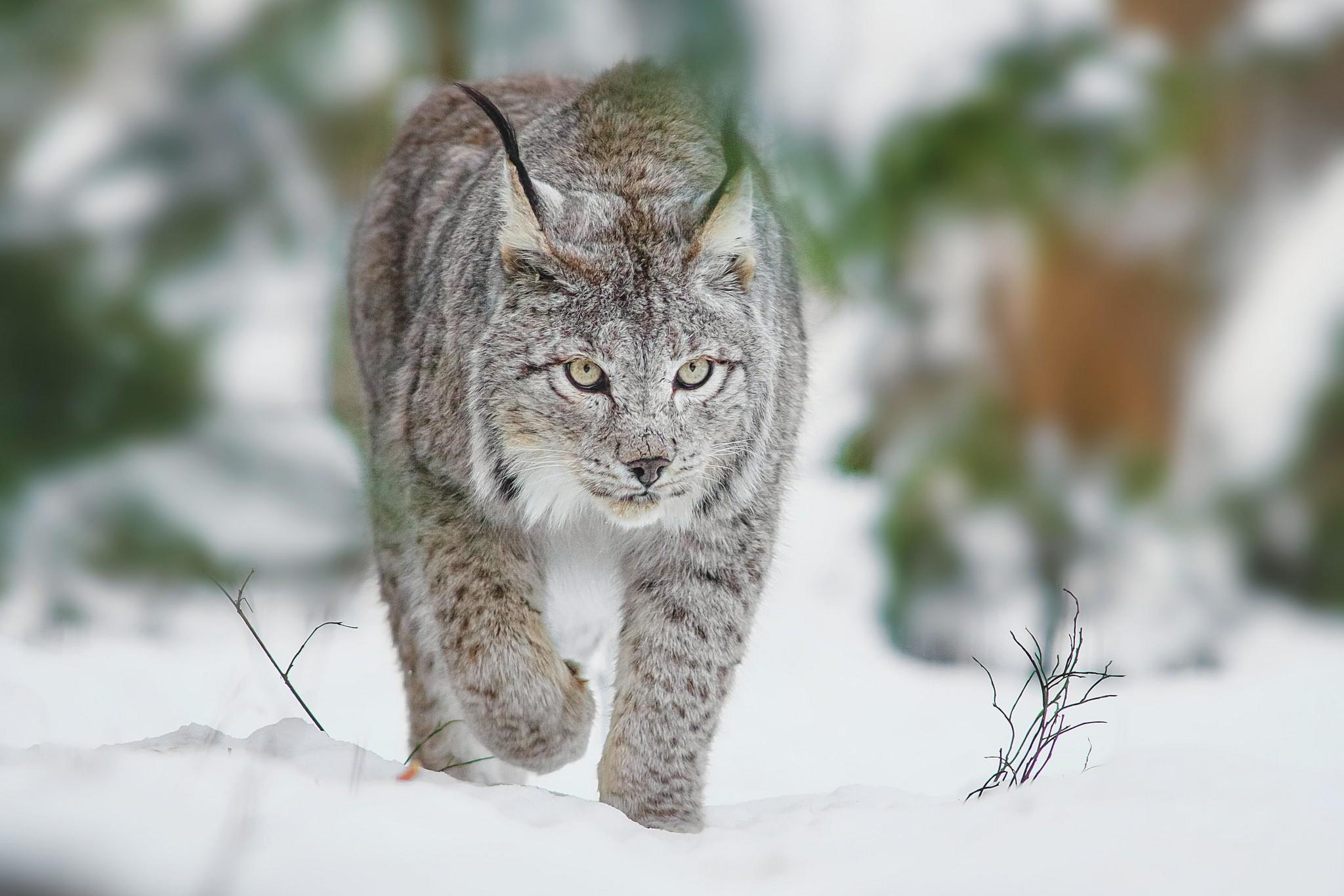 Lynx wallpapers HD quality
