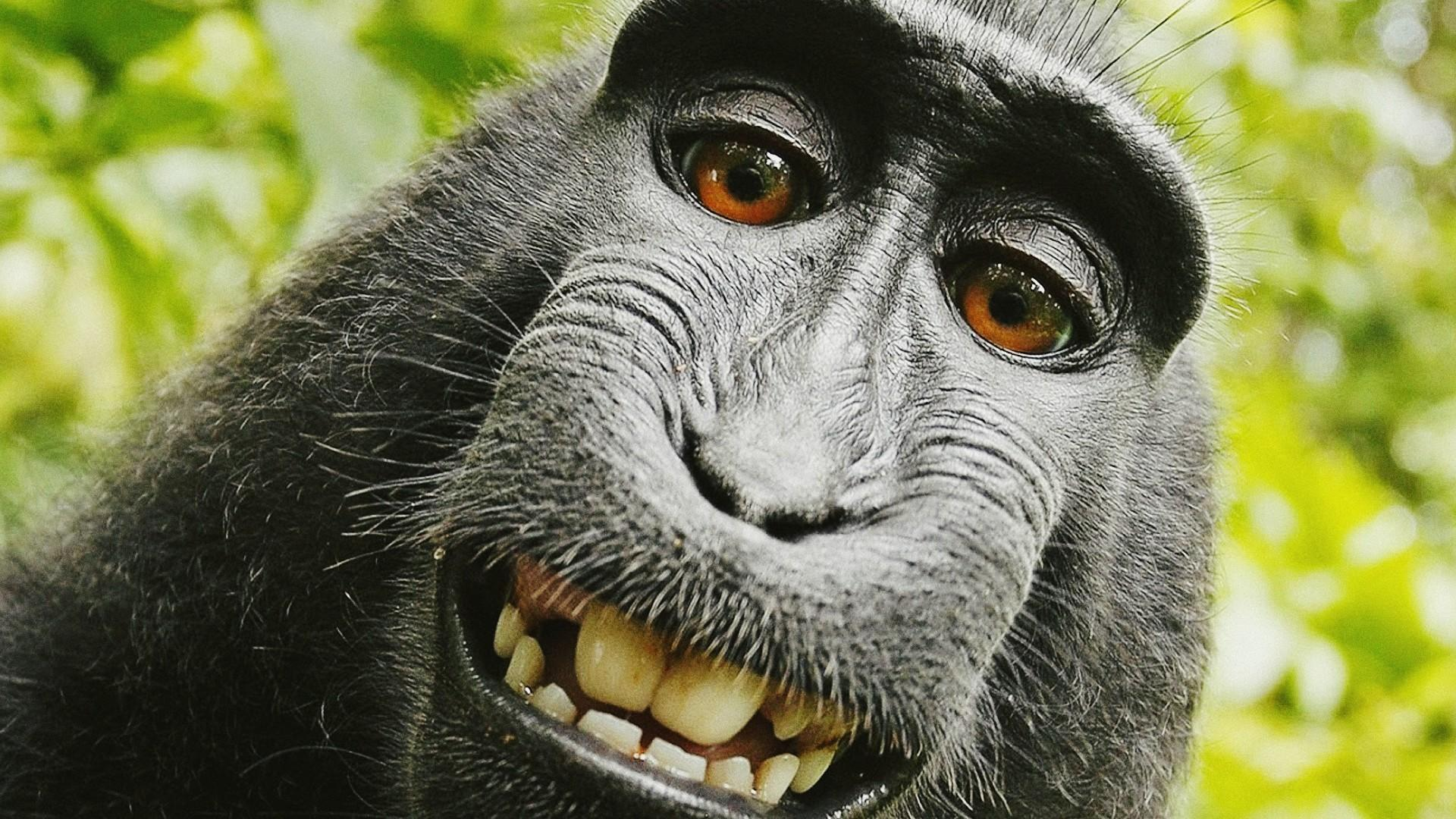 Monkey wallpapers HD quality