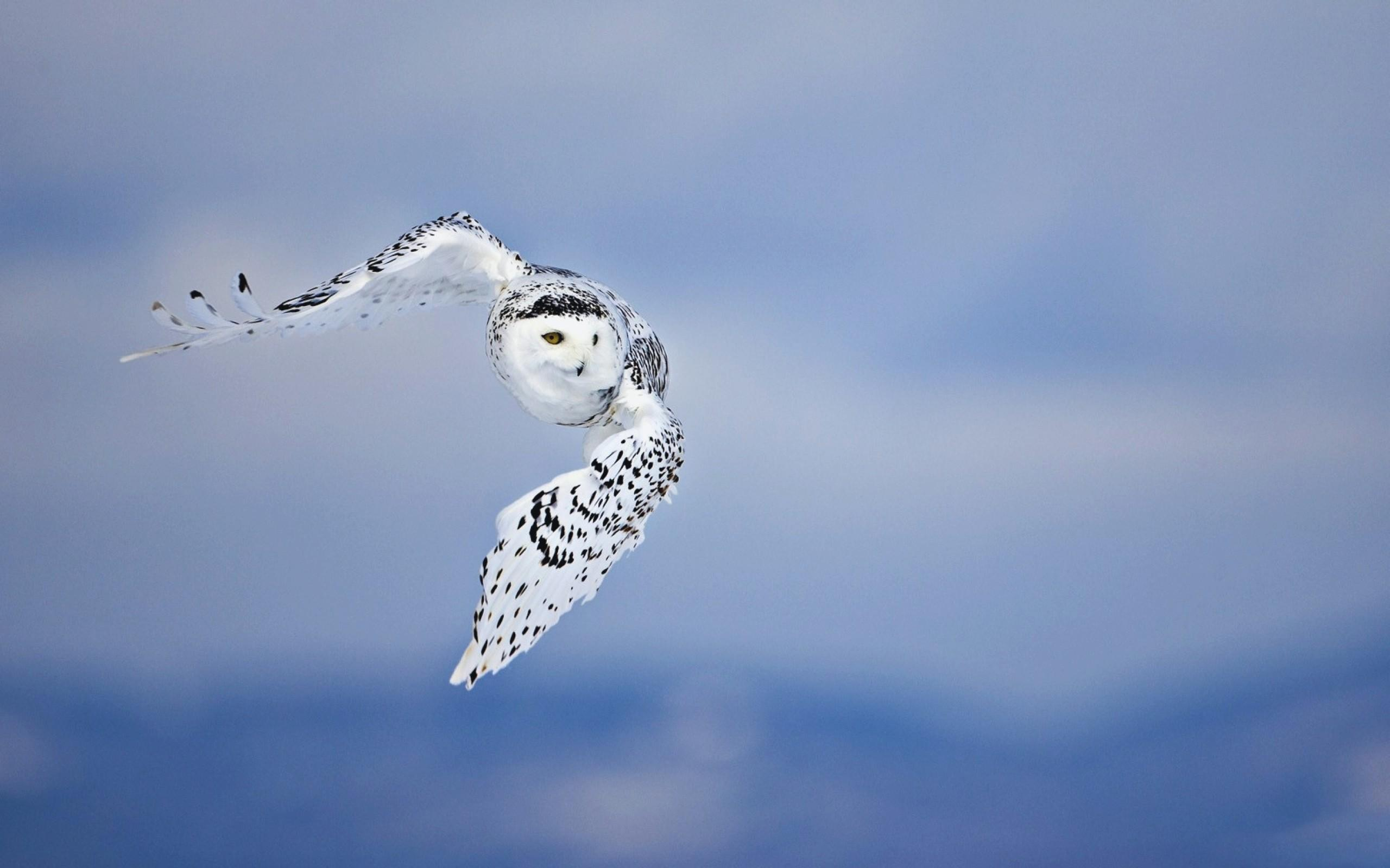 Snowy Owl wallpapers HD quality