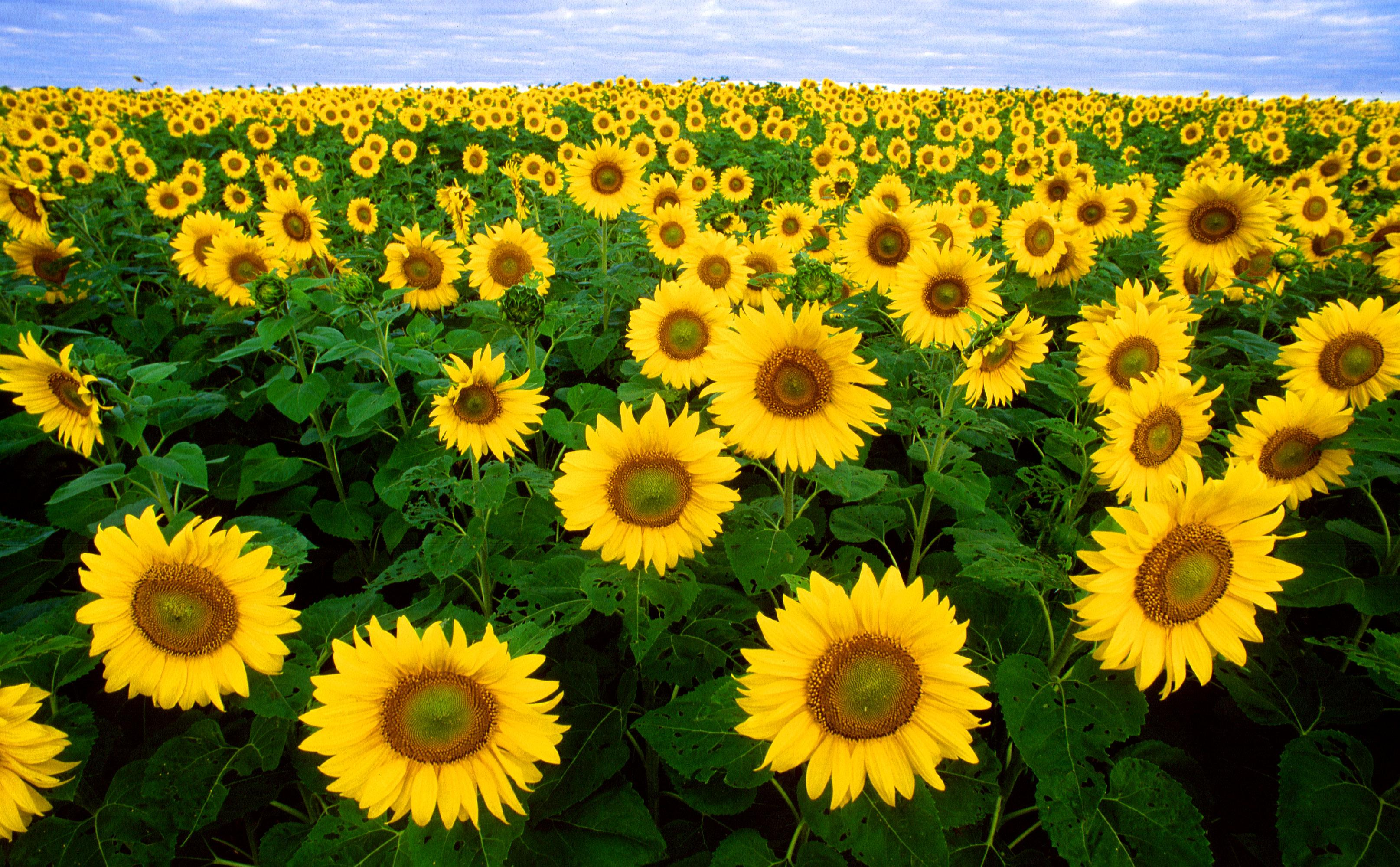 Sunflower wallpapers HD quality