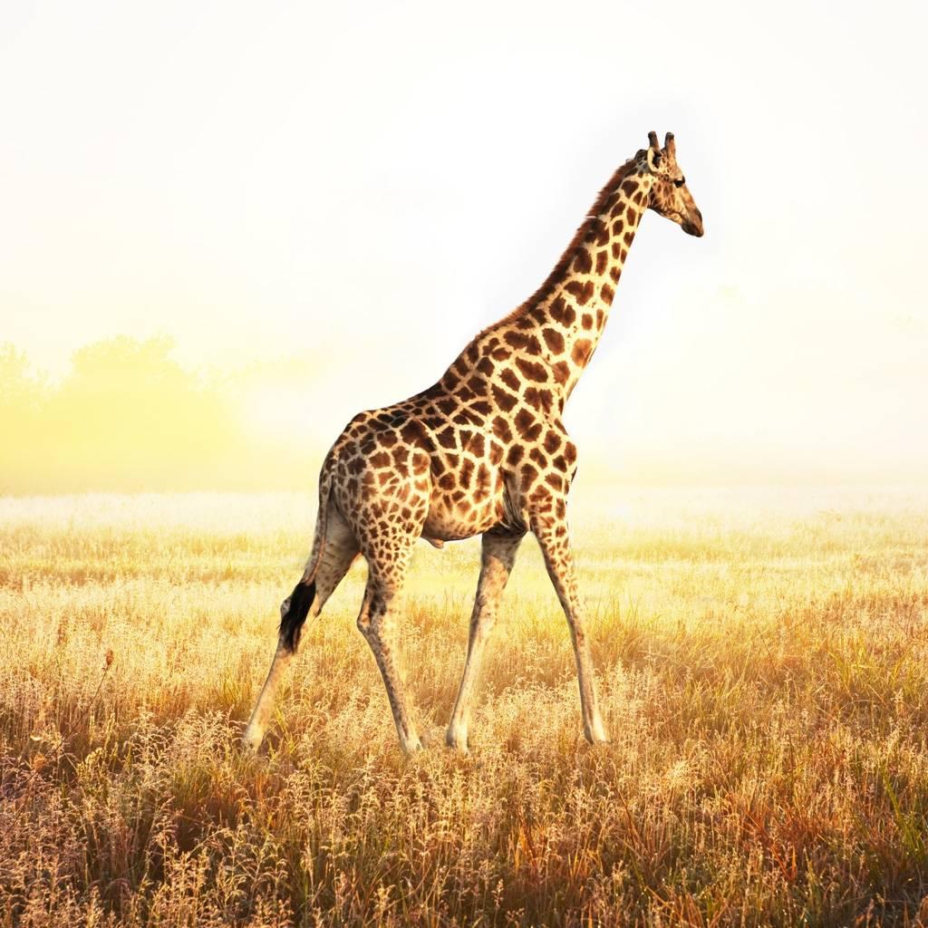 Giraffe Wallpaper Hd Download