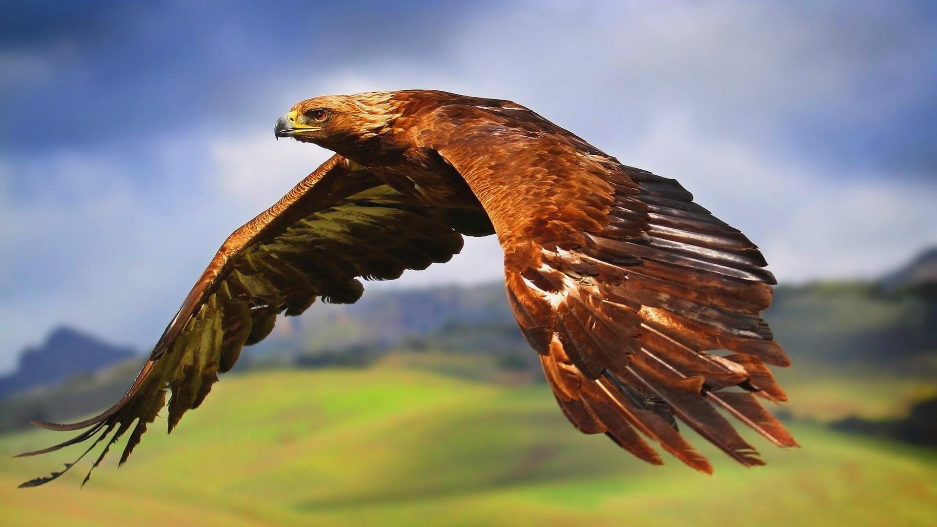 Hawk wallpaper hd download - Hawk iphone wallpaper ...