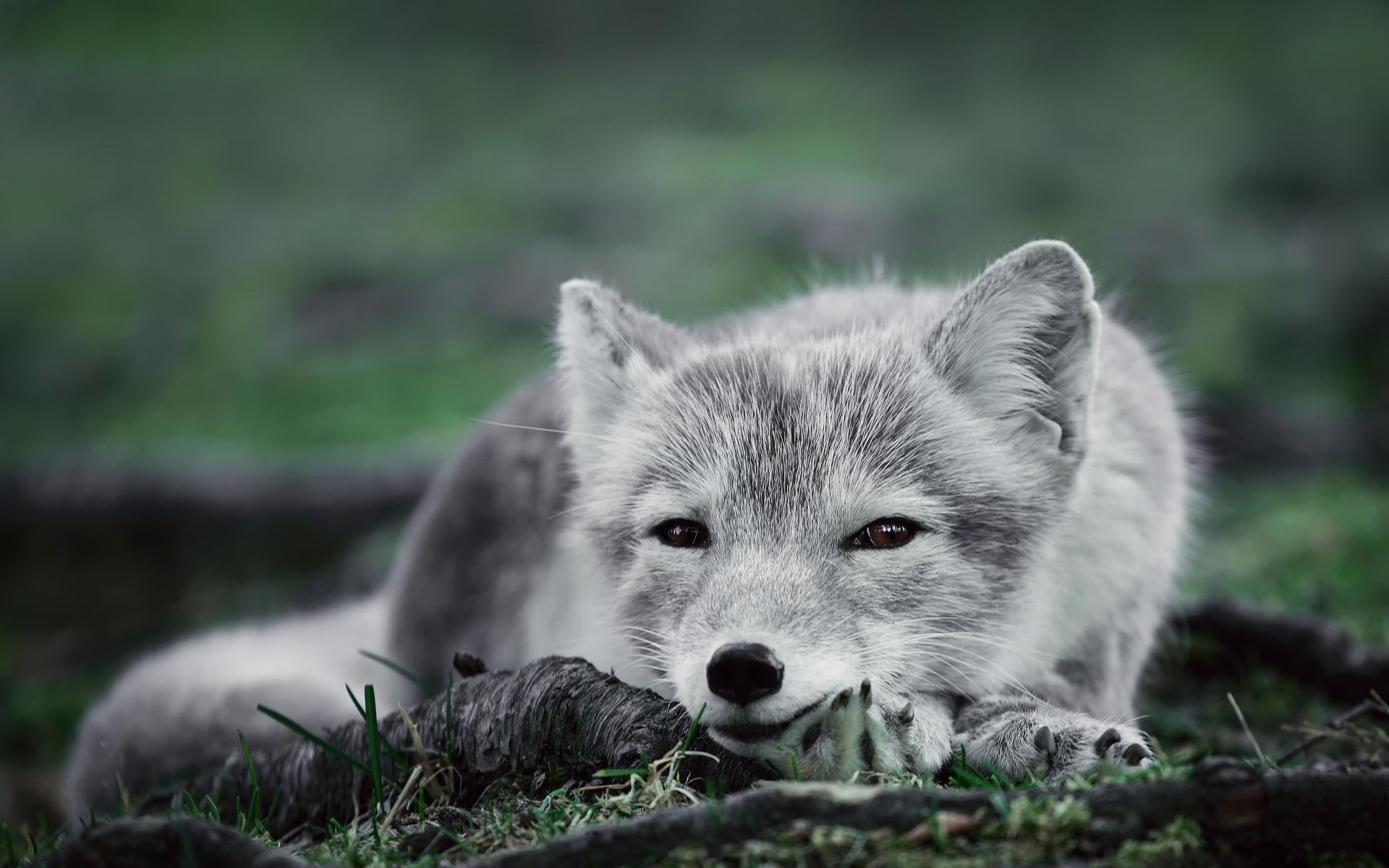 Arctic Fox Wallpaper Hd Download