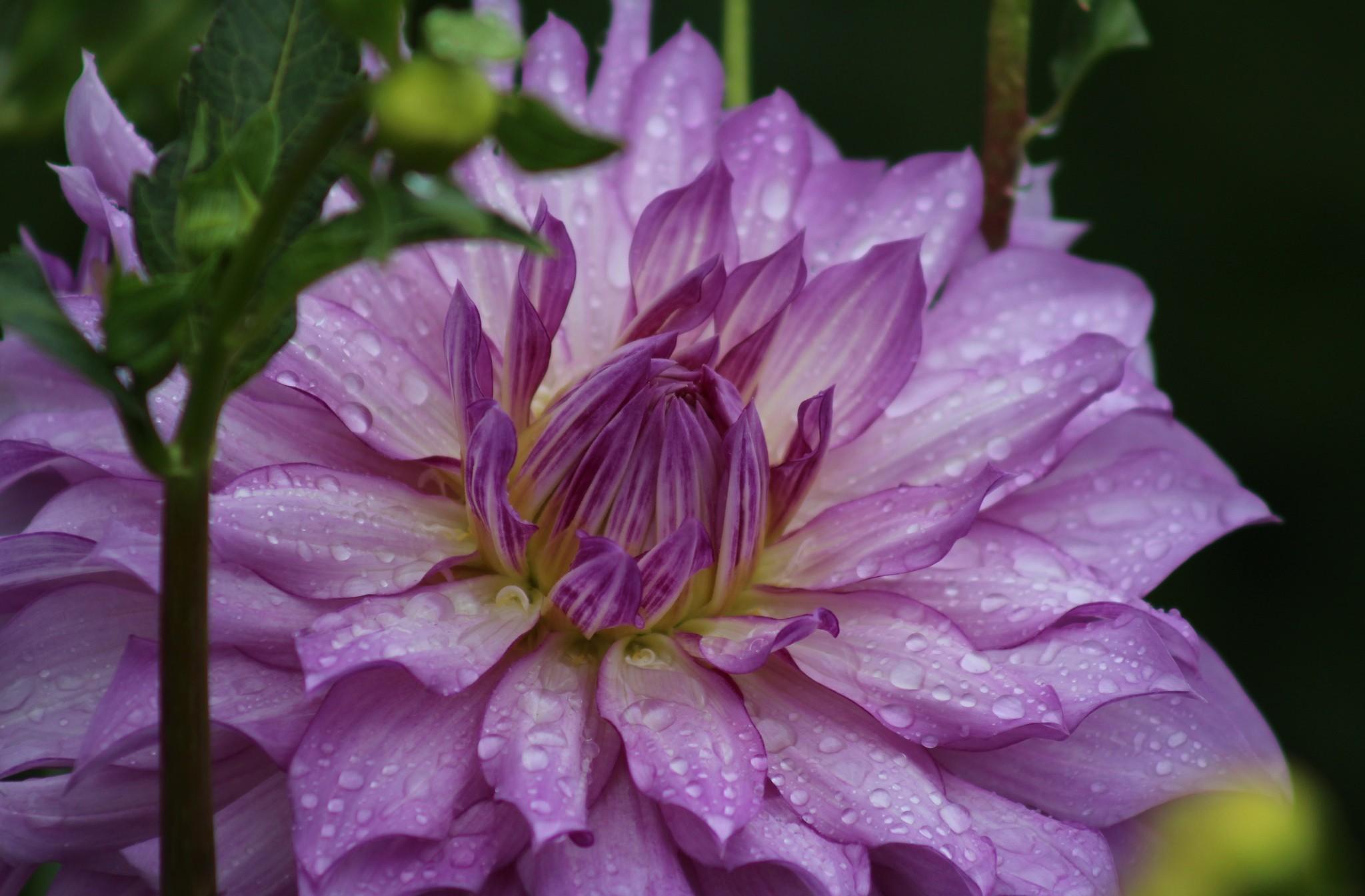 георгина цветок капли бесплатно