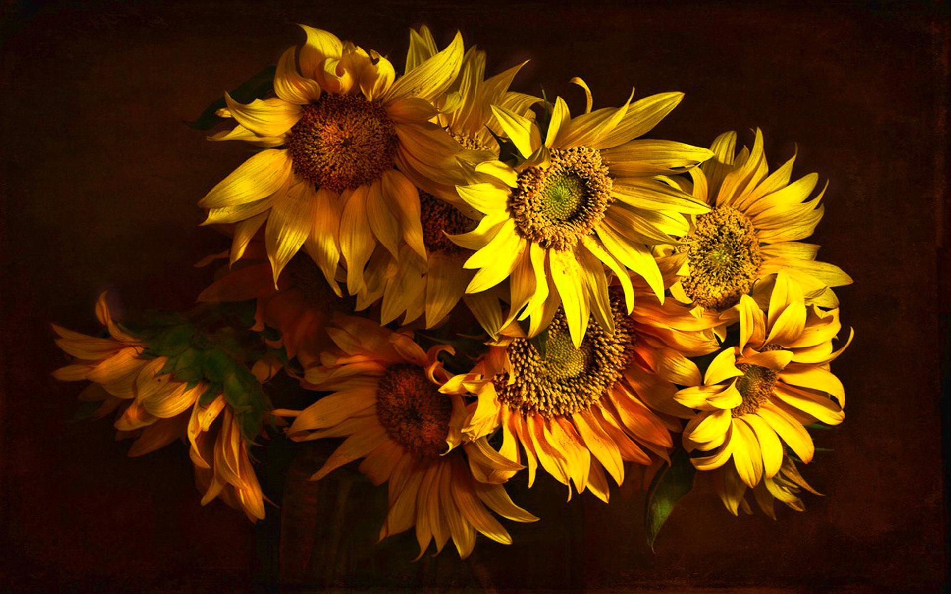 Sunflower Wallpaper HD Download