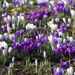 Crocus free download