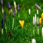 Crocus wallpapers hd