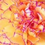 Carnation desktop wallpaper