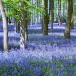 Bluebell hd desktop