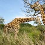 Giraffe free wallpapers