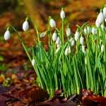 Snowdrop pic