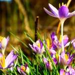 Crocus wallpapers for iphone