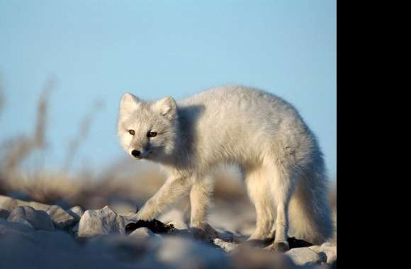 Arctic Fox wallpapers hd quality