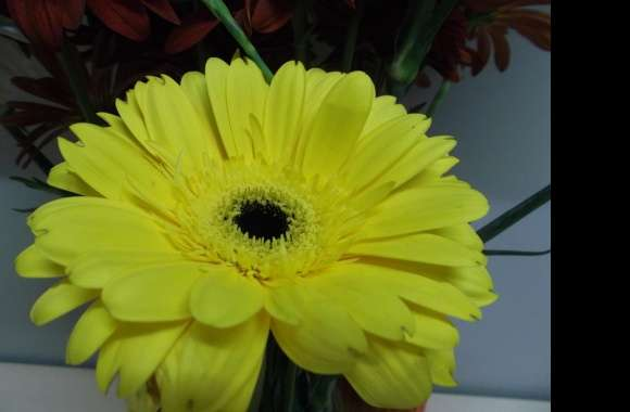 Gerbera wallpapers hd quality