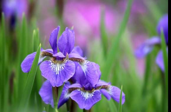Iris wallpapers hd quality