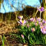 Crocus hd photos