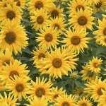 Sunflower hd photos