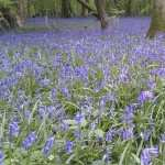 Bluebell wallpaper