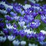 Crocus high definition wallpapers