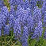 Bluebell widescreen