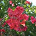 Bougainvillea images