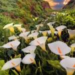 Calla Lily free download