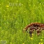 Deer widescreen