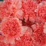 Carnation pic