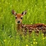 Deer pic