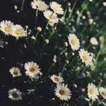 Daisy widescreen