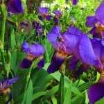 Iris free download