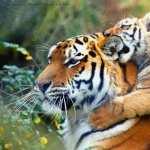 Tiger wallpapers for desktop