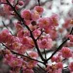 Blossom desktop wallpaper