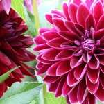 Dahlia high definition photo