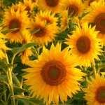 Sunflower hd pics
